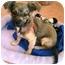 Photo 3 - Chihuahua Mix Puppy for adoption in Tarzana, California - Sadie Hawkins