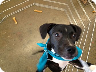 American Pit Bull Terrier Mix Puppy for adoption in Spanish Fort, Alabama - Isabell
