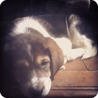 Greater Swiss Mountain Dog/Great Pyrenees Mix Puppy for adoption in Tulsa, Oklahoma - Zelda -Adopted