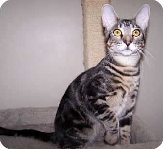 Domestic Shorthair Kitten for adoption in Colorado Springs, Colorado - K-Hirsh6-Bartholo-mew