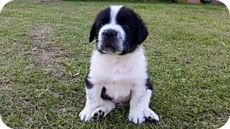 Newfoundland Mix Puppy for adoption in Media, Pennsylvania - Leo
