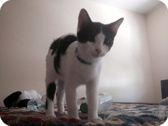 Domestic Shorthair Kitten for adoption in Las Vegas, Nevada - Marvin
