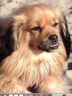 Spaniel (Unknown Type) Mix Dog for adoption in Studio City, California - Panda