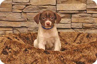 Labrador Retriever Mix Puppy for adoption in Waldorf, Maryland - Larry