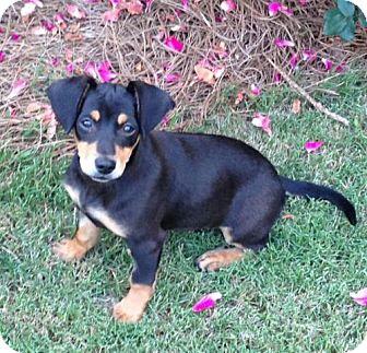 Dachshund/Terrier (Unknown Type, Medium) Mix Puppy for adoption in Alpharetta, Georgia - Miah