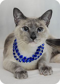 Domestic Shorthair Cat for adoption in Dublin, California - Rita