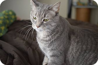 Domestic Mediumhair Cat for adoption in Naperville, Illinois - Isabelle