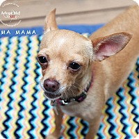 Adopt A Pet :: Bahama Mama - Shawnee Mission, KS