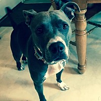 Pit Bull Terrier Mix Dog for adoption in Gilbertsville, Pennsylvania - Bunny