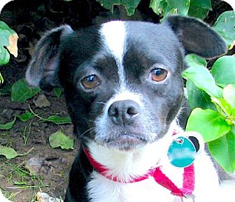 Boston Terrier/Jack Russell Terrier Mix Dog for adoption in Marina Del Ray, California - BRIGETTE
