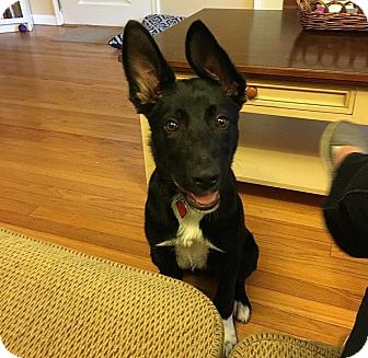 Shepherd (Unknown Type)/Collie Mix Puppy for adoption in Wethersfield, Connecticut - Maggie