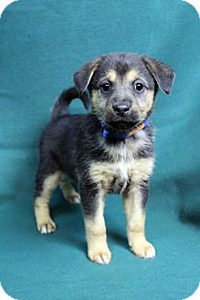 Shepherd (Unknown Type) Mix Puppy for adoption in Westminster, Colorado - AMBER