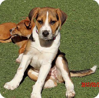 Beagle/Labrador Retriever Mix Puppy for adoption in Twinsburg, Ohio - Bailey (15 lb) Smart Pup/Video