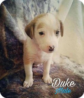 Australian Shepherd Mix Puppy for adoption in Plainfield, Illinois - Duke