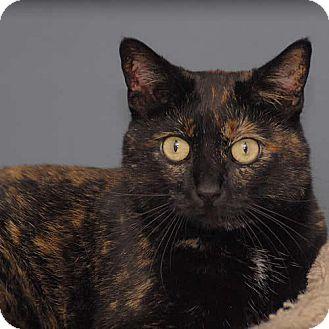Domestic Mediumhair Cat for adoption in Des Moines, Iowa - Copper