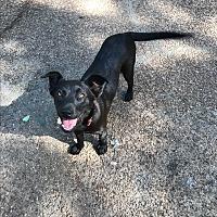 Adopt A Pet :: BIANCA - HAGGERSTOWN, MD