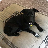 Adopt A Pet :: Lilah - Minneapolis, MN