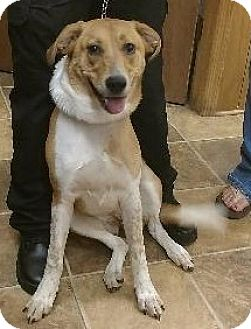 Australian Shepherd/Labrador Retriever Mix Dog for adoption in Shelbyville, Tennessee - Jazzy