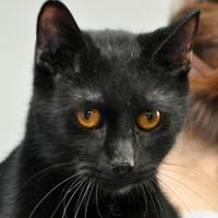 Domestic Shorthair/Domestic Shorthair Mix Cat for adoption in Tilton, Illinois - Truffle