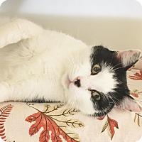 Adopt A Pet :: Orchard - loving & cuddly! - Salisbury, MA