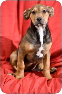 German Shepherd Dog/Labrador Retriever Mix Puppy for adoption in Portland, Oregon - Cupid