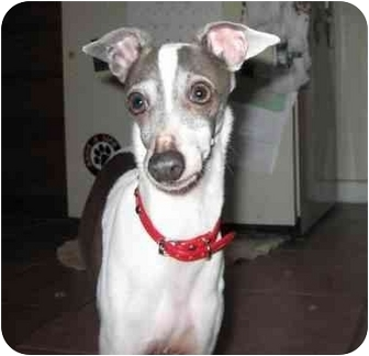 Italian Greyhound Dog for adoption in Argyle, Texas - Roxy in DFW