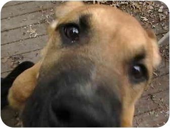 Boxer/Labrador Retriever Mix Puppy for adoption in Cincinnati, Ohio - Lucy Brown