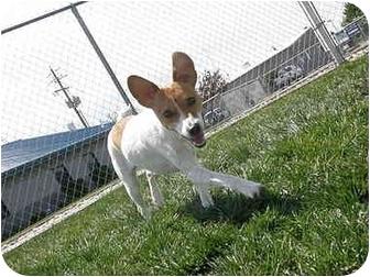 Rat Terrier Dog for adoption in Meridian, Idaho - Sheena