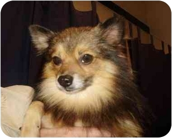 Pomeranian/Chihuahua Mix Dog for adoption in Chester, Maryland - Roy
