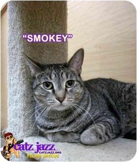 Domestic Shorthair Cat for adoption in Cedar Creek, Texas - Smokey