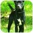 Photo 2 - Shar Pei/Labrador Retriever Mix Dog for adoption in Berea, Ohio - Alice