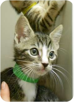Domestic Shorthair Kitten for adoption in Maywood, New Jersey - Captain