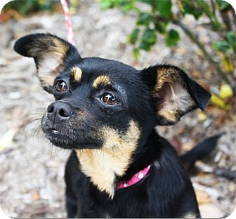 Chihuahua Mix Dog for adoption in El Cajon, California - ROZ