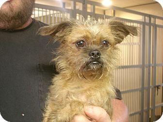 Shih Tzu/Yorkie, Yorkshire Terrier Mix Dog for adoption in Greencastle, North Carolina - Lil Bit