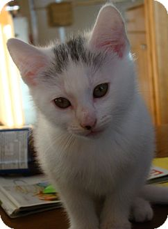 Domestic Shorthair Kitten for adoption in Owatonna, Minnesota - Lily