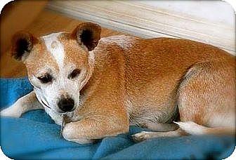 Chihuahua Dog for adoption in San Antonio, Texas - Tiny (Tot)