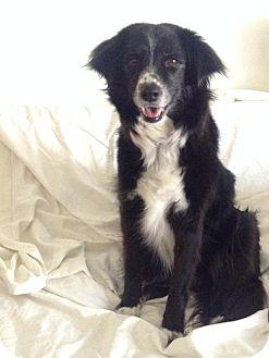Border Collie Dog for adoption in Las Vegas, Nevada - Oso