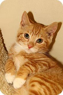 Domestic Shorthair Kitten for adoption in Yorba Linda, California - Woody