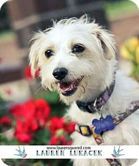 Westie, West Highland White Terrier/Terrier (Unknown Type, Small) Mix Dog for adoption in Los Angeles, California - Wynona