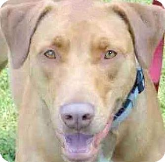 Labrador Retriever/Boxer Mix Dog for adoption in Winchester, Kentucky - SCOTCH(2 GREAT BREEDS-SO SMART