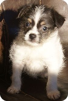 Terrier (Unknown Type, Small)/Chihuahua Mix Puppy for adoption in Hagerstown, Maryland - Clyde