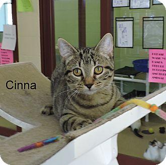 Domestic Shorthair Kitten for adoption in Slidell, Louisiana - Cinna