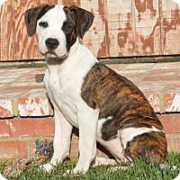 Adopt A Pet :: Doris Day - Los Angeles, CA