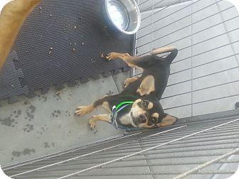 Chihuahua Dog for adoption in Phoenix, Arizona - Sheldon burster