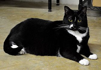 Domestic Shorthair Cat for adoption in Mt. Airy, North Carolina - Double Stuff