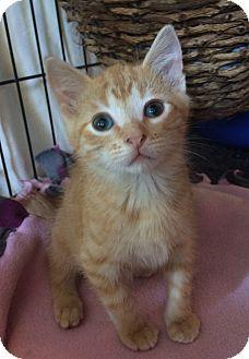 Domestic Shorthair Kitten for adoption in Bonner Springs, Kansas - Fruit Loop
