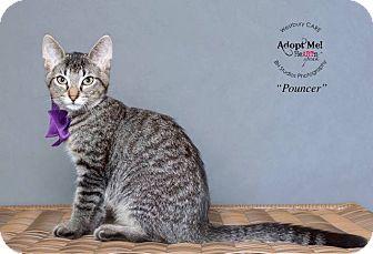 Domestic Shorthair Kitten for adoption in Houston, Texas - Pouncer