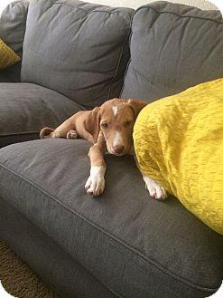 Australian Shepherd Mix Puppy for adoption in Daleville, Alabama - Ginger