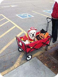 English Bulldog Dog for adoption in Glastonbury, Connecticut - Molly