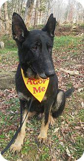 German Shepherd Dog Dog for adoption in Louisville, Kentucky - Soli